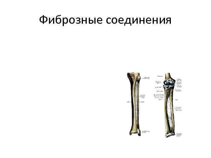 Фиброзные соединения