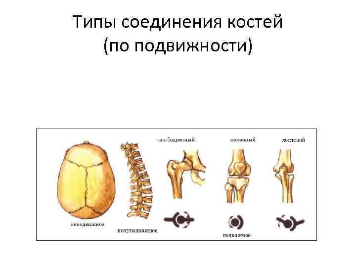 Типы соединения костей (по подвижности)