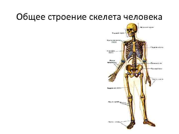 Общее строение скелета человека