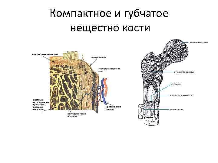 Компактное и губчатое вещество кости
