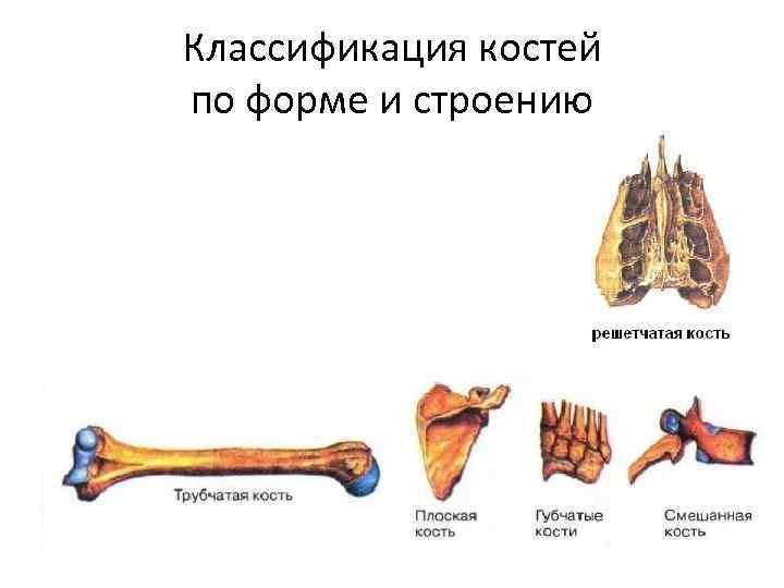 Классификация костей по форме и строению