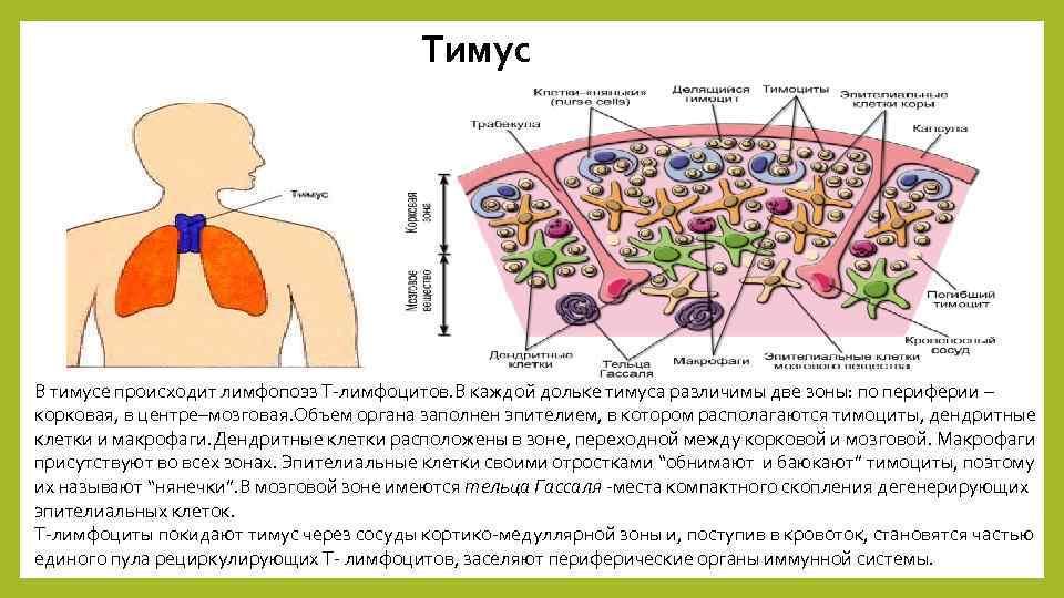 Тимус В тимусе происходит лимфопоэз Т-лимфоцитов. В каждой дольке тимуса различимы две зоны: по