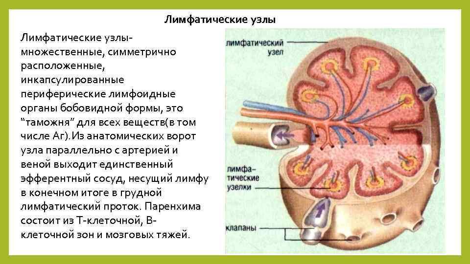 """Лимфатические узлымножественные, симметрично расположенные, инкапсулированные периферические лимфоидные органы бобовидной формы, это """"таможня"""" для всех"""
