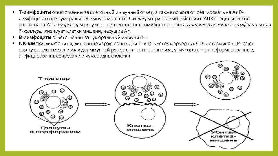 • Т-лимфоциты ответственны за клеточный иммунный ответ, а также помогают реагировать на Аг