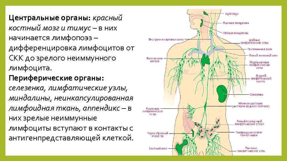 Центральные органы: красный костный мозг и тимус – в них начинается лимфопоэз – дифференцировка