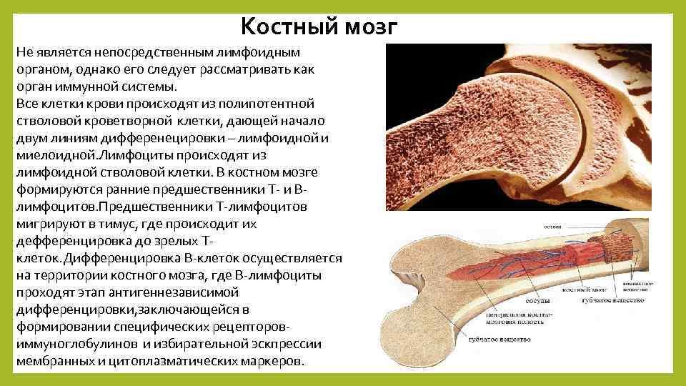 Костный мозг Не является непосредственным лимфоидным органом, однако его следует рассматривать как орган иммунной