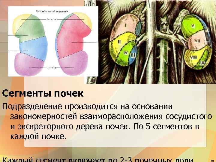 Сегменты почек Подразделение производится на основании закономерностей взаиморасположения сосудистого и экскреторного дерева почек. По