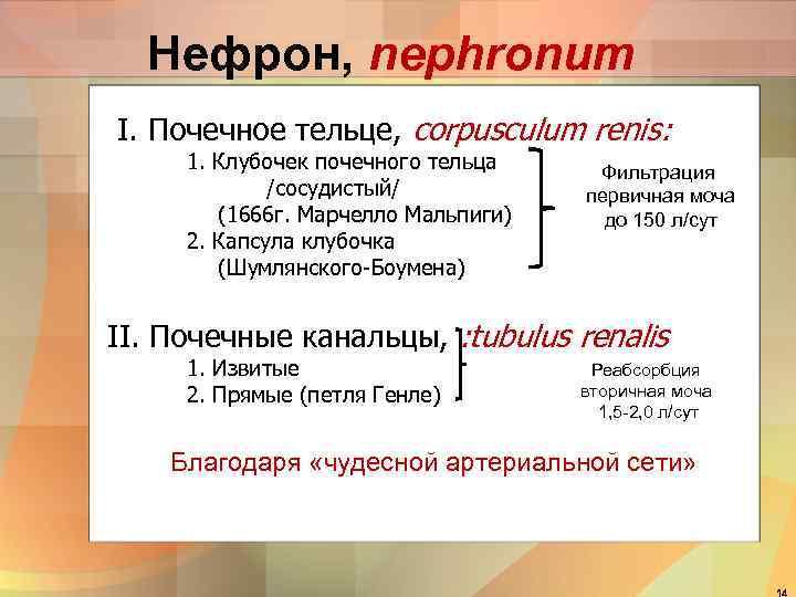 Нефрон, nephronum I. Почечное тельце, corpusculum renis: 1. Клубочек почечного тельца /сосудистый/ (1666 г.