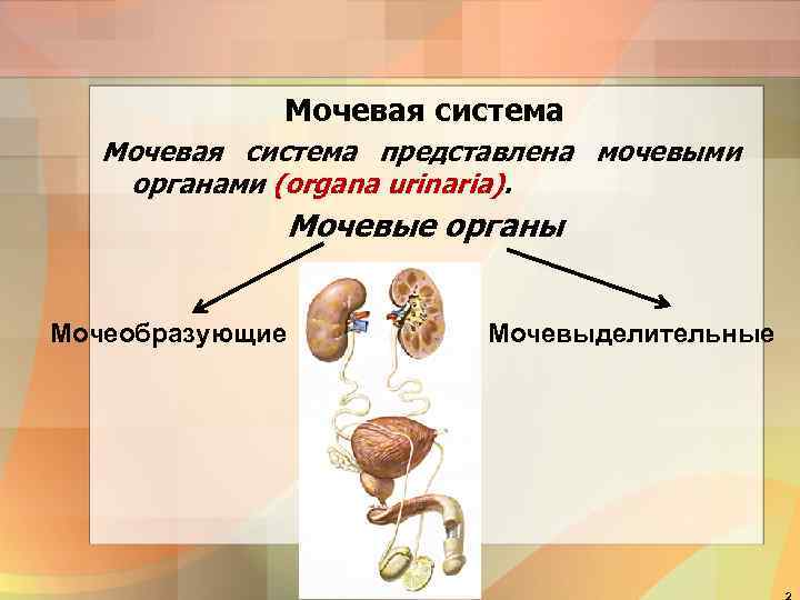 Мочевая система представлена мочевыми органами (organa urinaria). Мочевые органы Мочеобразующие Мочевыделительные