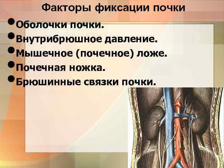Факторы фиксации почки • Оболочки почки. • Внутрибрюшное давление. • Мышечное (почечное) ложе. •