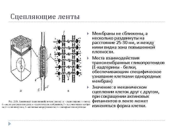 Типы межклеточных соединений фото