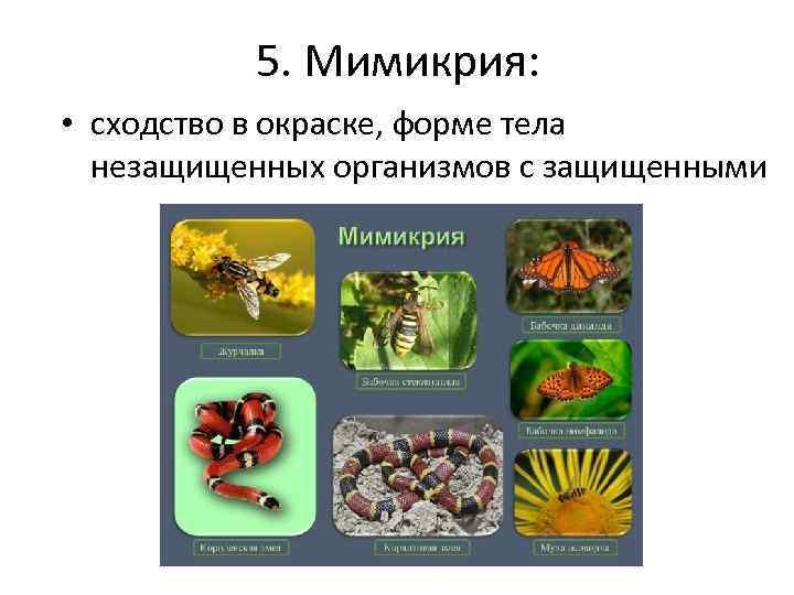 5. Мимикрия: • сходство в окраске, форме тела незащищенных организмов с защищенными
