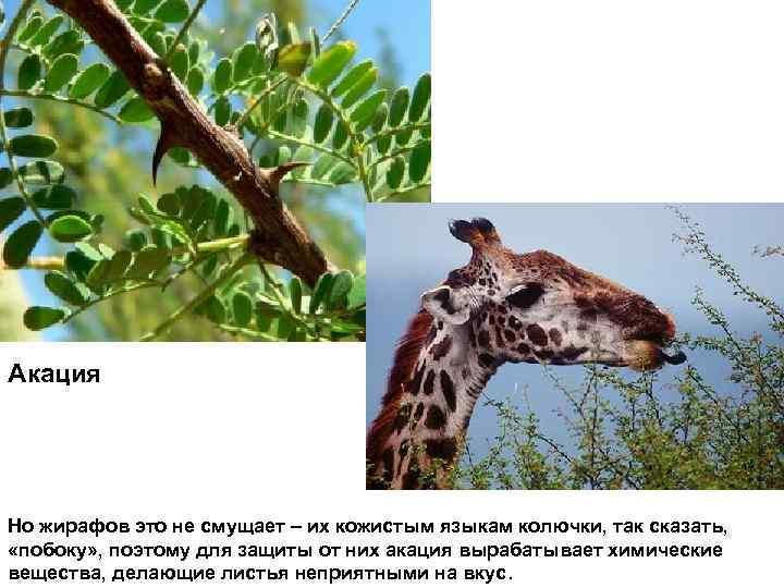 Акация Но жирафов это не смущает – их кожистым языкам колючки, так сказать, «побоку»