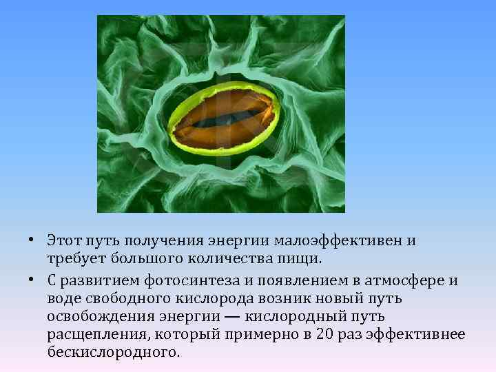 • Этот путь получения энергии малоэффективен и требует большого количества пищи. • С