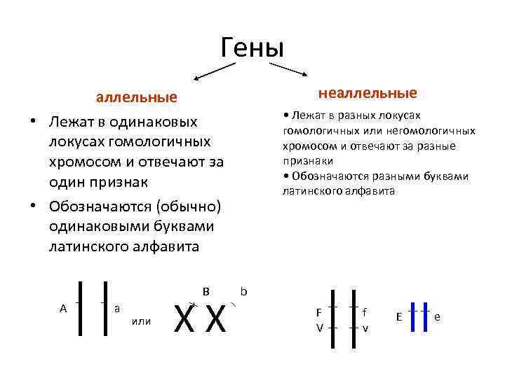 Гены неаллельные • Лежат в одинаковых локусах гомологичных хромосом и отвечают за один признак
