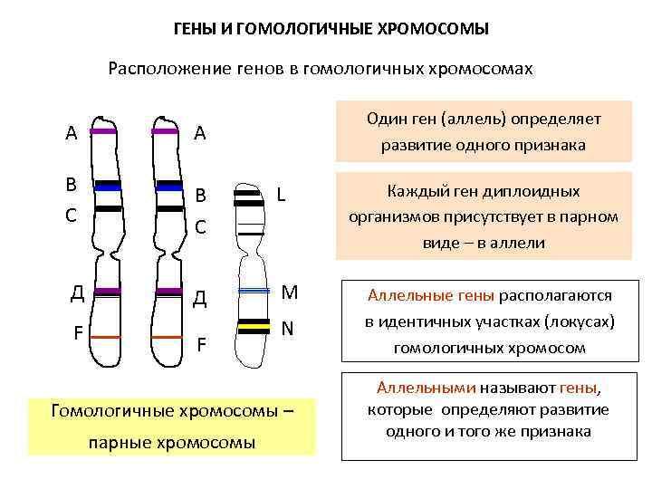 ГЕНЫ И ГОМОЛОГИЧНЫЕ ХРОМОСОМЫ Расположение генов в гомологичных хромосомах А В С Д Один