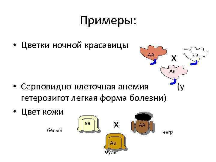 Примеры: • Цветки ночной красавицы АА х Аа • Серповидно-клеточная анемия (у гетерозигот легкая