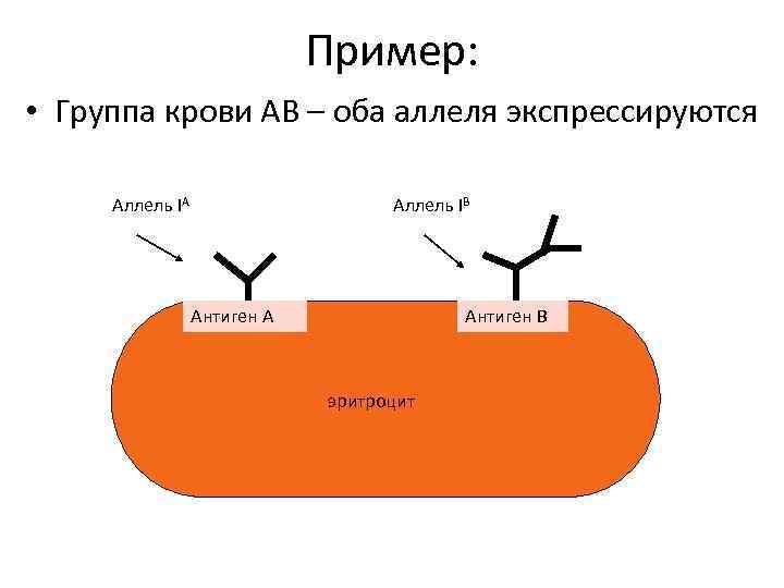Пример: • Группа крови АВ – оба аллеля экспрессируются Аллель IА Аллель IВ Антиген