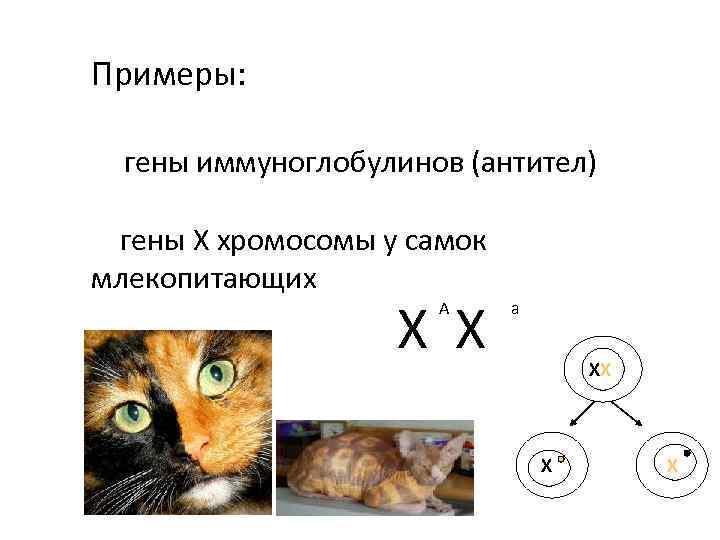 Примеры: гены иммуноглобулинов (антител) гены Х хромосомы у самок млекопитающих Х Х А а