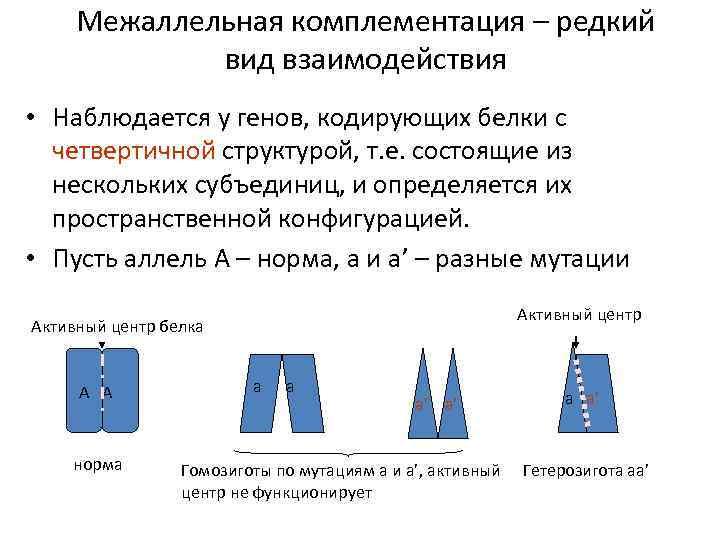 Межаллельная комплементация – редкий вид взаимодействия • Наблюдается у генов, кодирующих белки с четвертичной
