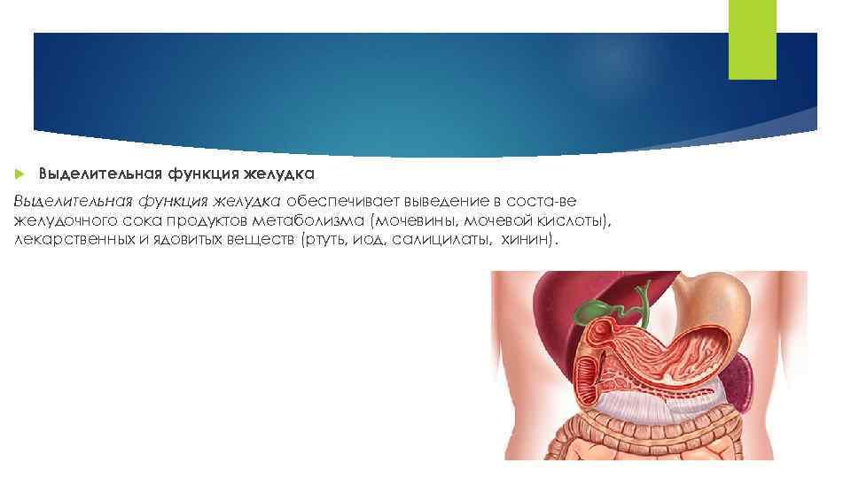 Выделительная функция желудка обеспечивает выведение в соста ве желудочного сока продуктов метаболизма (мочевины,
