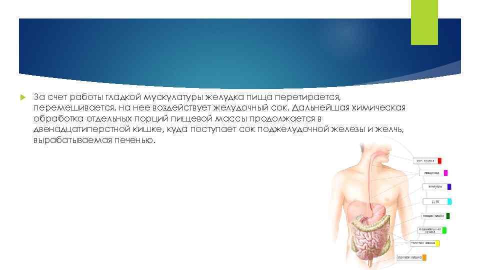 За счет работы гладкой мускулатуры желудка пища перетирается, перемешивается, на нее воздействует желудочный