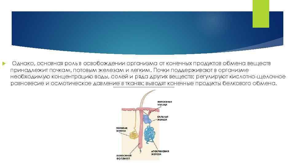 Однако, основная роль в освобождении организма от конечных продуктов обмена веществ принадлежит почкам,
