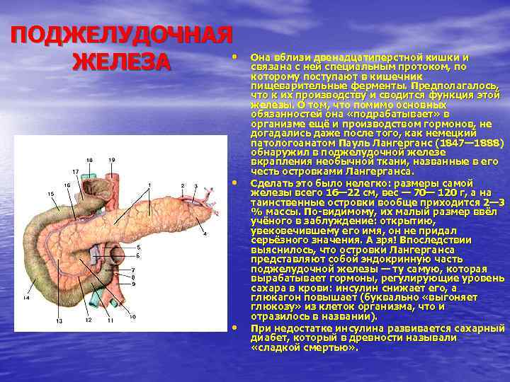 Поджелудочная железа и ее функции