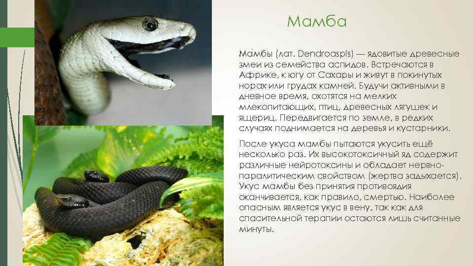 Сообщение Про Змею Чёрная Мамба