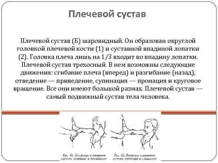Плечевой сустав (Б) шаровидный. Он образован округлой  головкой плечевой кости