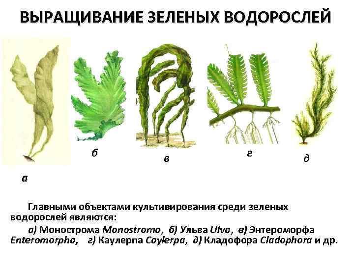 Выращивания водорослей 53