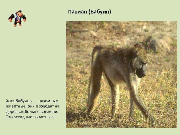 Павиан (Бабуин) Хотя бабуины — наземные животные, они проводят на деревьях больше времени. Это