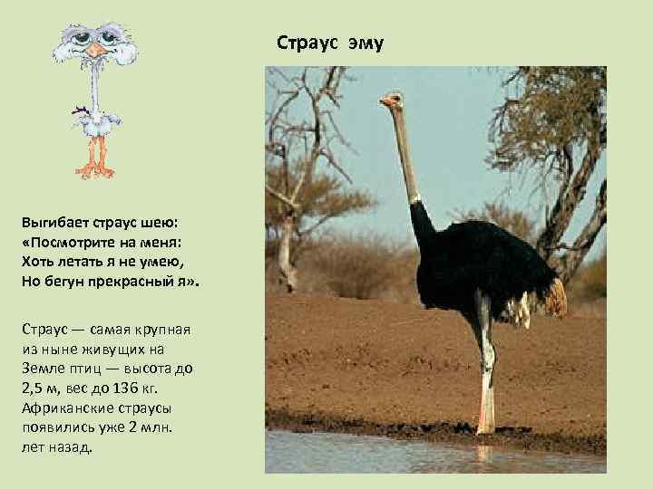 Страус эму Выгибает страус шею: «Посмотрите на меня: Хоть летать я не умею, Но