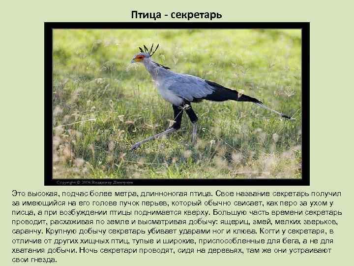 Птица - секретарь Это высокая, подчас более метра, длинноногая птица. Свое название секретарь получил