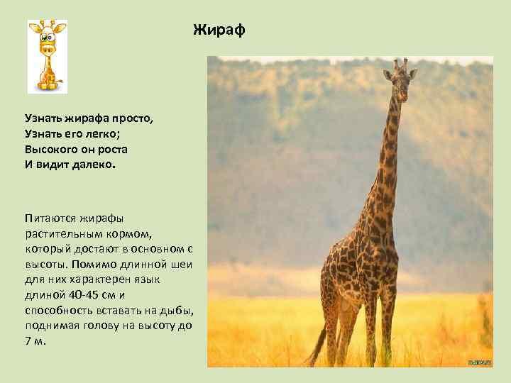 Жираф Узнать жирафа просто, Узнать его легко; Высокого он роста И видит далеко. Питаются
