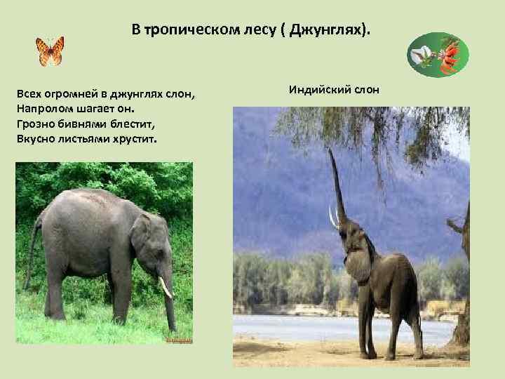 В тропическом лесу ( Джунглях). Всех огромней в джунглях слон, Напролом шагает он. Грозно