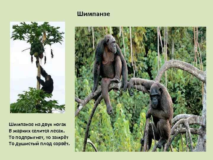 Шимпанзе на двух ногах В жарких селится лесах. То подпрыгнет, то замрёт То душистый