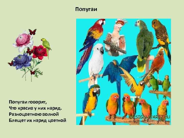 Попугаи говорят, Что красив у них наряд. Разноцветною волной Блещет их наряд цветной