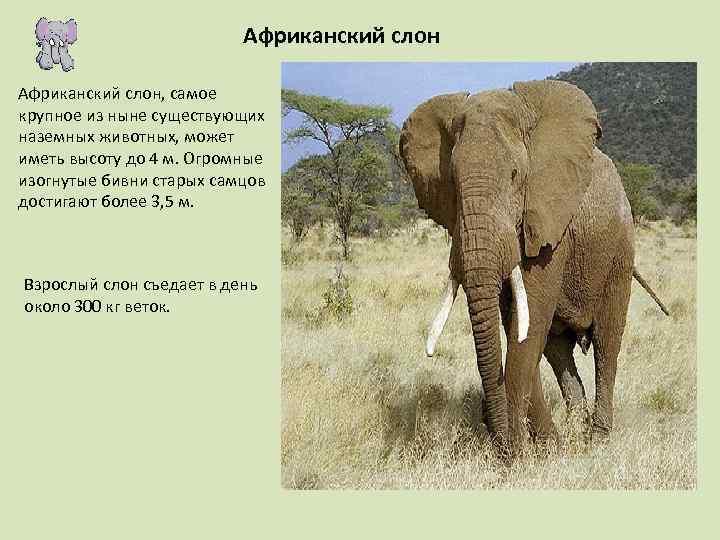 Африканский слон, самое крупное из ныне существующих наземных животных, может иметь высоту до 4