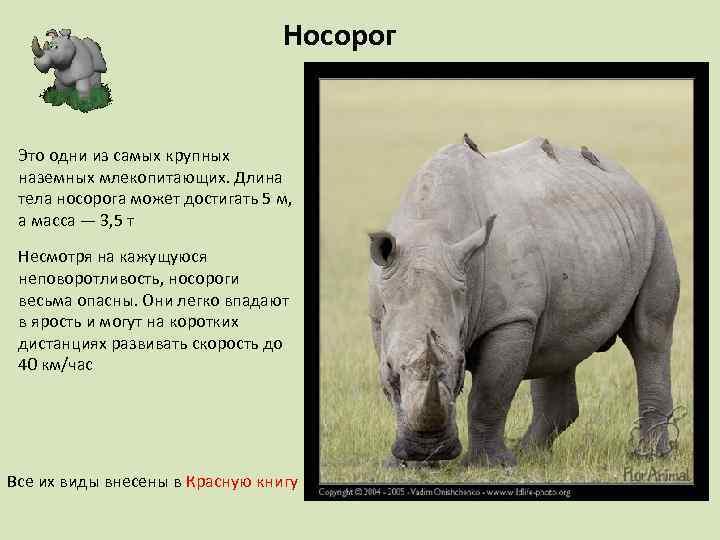 Носорог Это одни из самых крупных наземных млекопитающих. Длина тела носорога может достигать 5