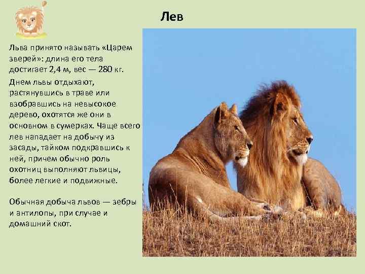 Лев Льва принято называть «Царем зверей» : длина его тела достигает 2, 4 м,