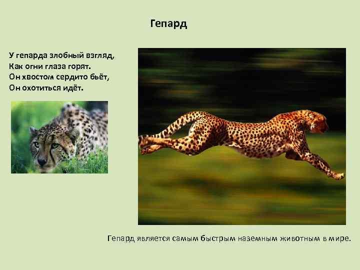 Гепард У гепарда злобный взгляд, Как огни глаза горят. Он хвостом сердито бьёт, Он