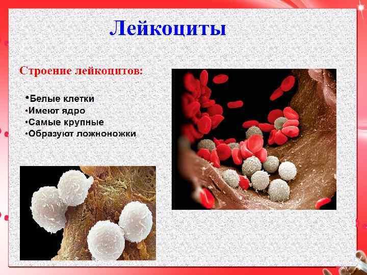 Строение лейкоцита картинка