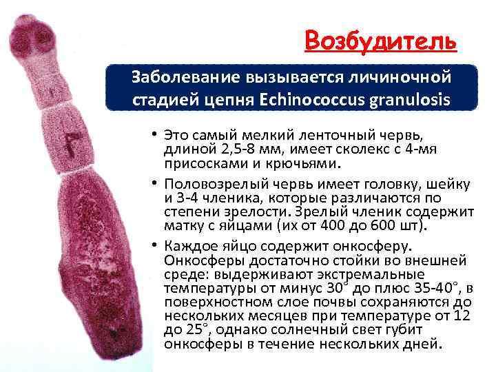Возбудитель Заболевание вызывается личиночной стадией цепня Echinococcus granulosis • Это самый мелкий ленточный червь,