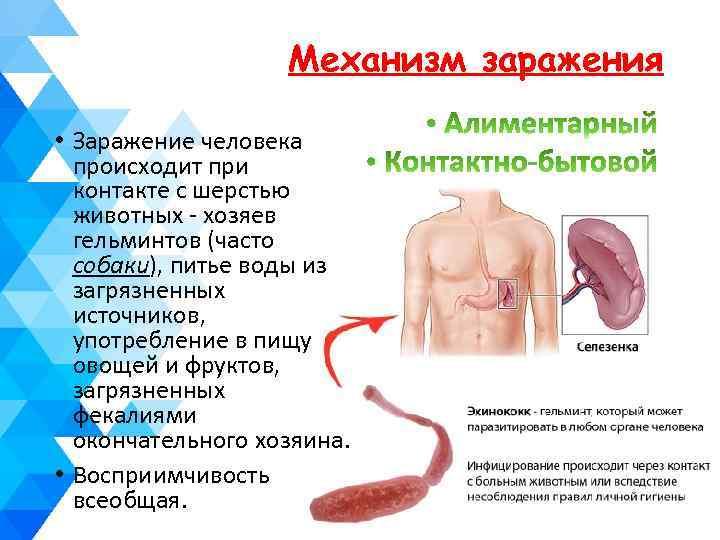 Механизм заражения • Заражение человека происходит при контакте с шерстью животных - хозяев гельминтов