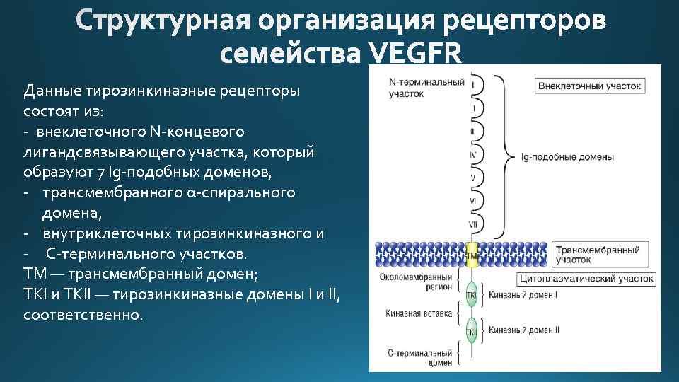 Данные тирозинкиназные рецепторы состоят из: - внеклеточного N-концевого лигандсвязывающего участка, который образуют 7 Ig-подобных