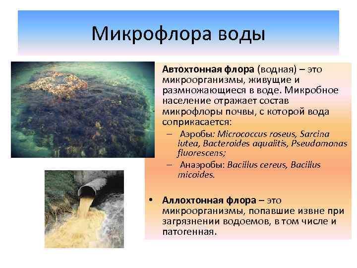 Микрофлора воды • Автохтонная флора (водная) – это микроорганизмы, живущие и размножающиеся в воде.