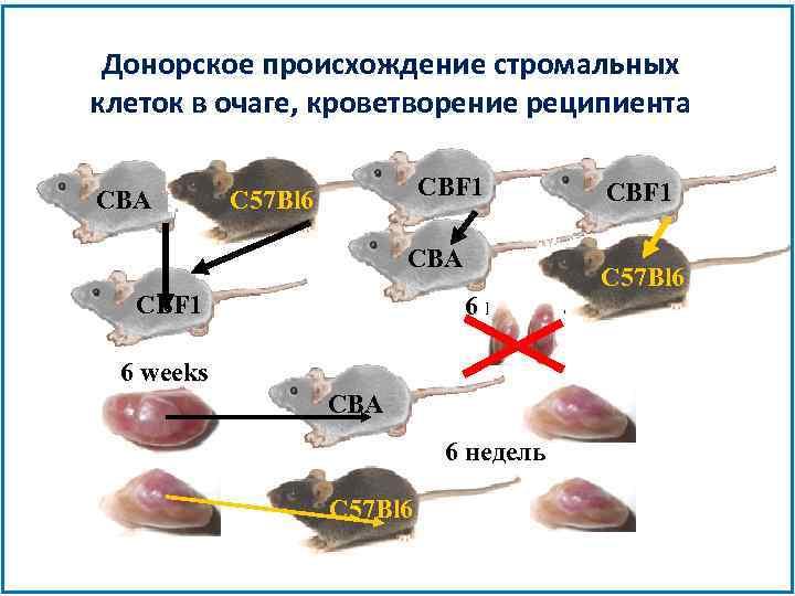 Донорское происхождение стромальных клеток в очаге, кроветворение реципиента CBA CBF 1 C 57 Bl