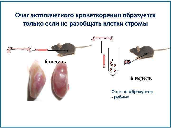 Очаг эктопического кроветворения образуется только если не разобщать клетки стромы 6 недель Очаг не