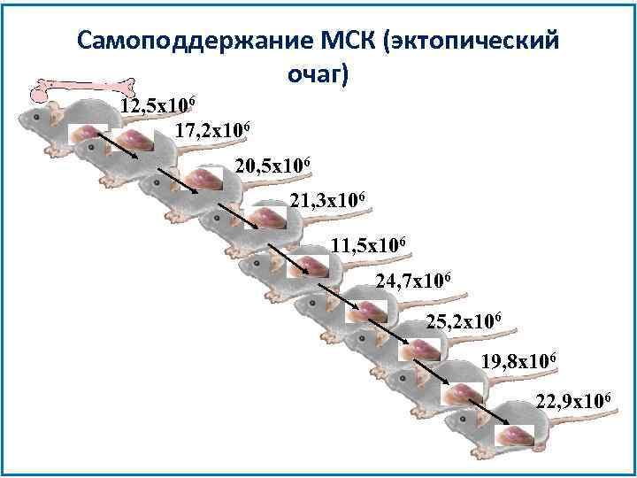 Самоподдержание МСК (эктопический очаг) 12, 5 x 106 17, 2 x 106 20, 5